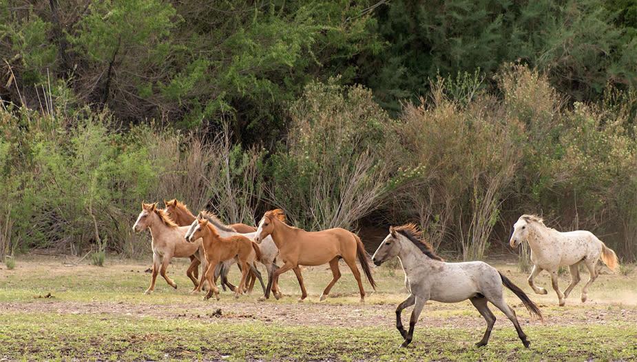 Horses Salt River