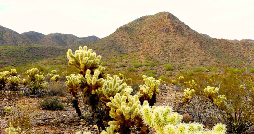 The Impossible Beauty of the Desert Cholla