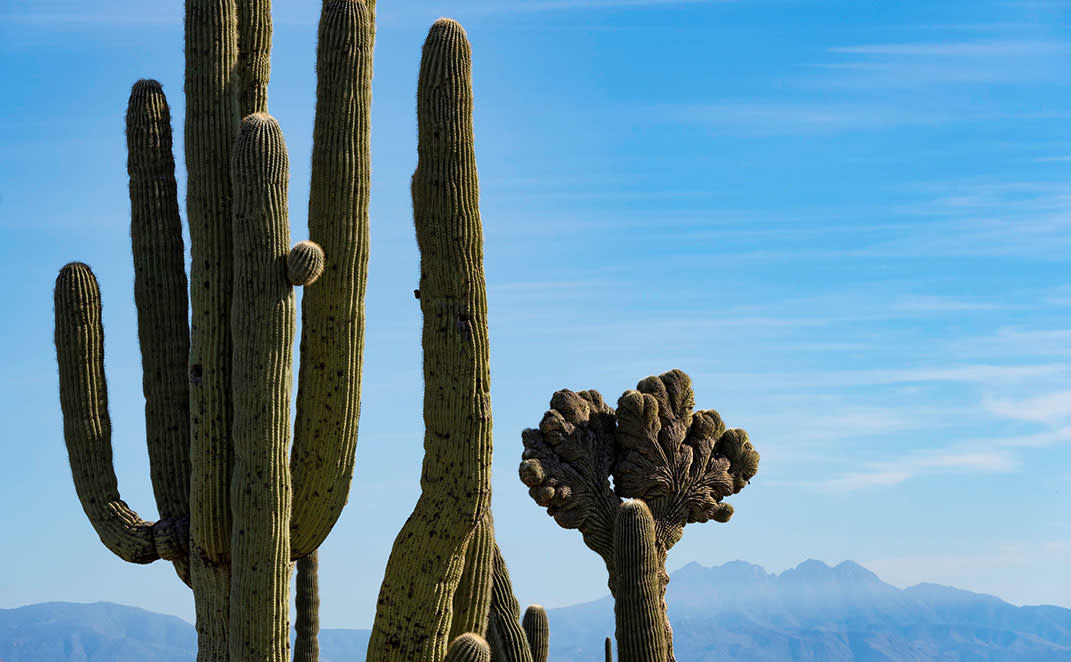 Crested Cactus