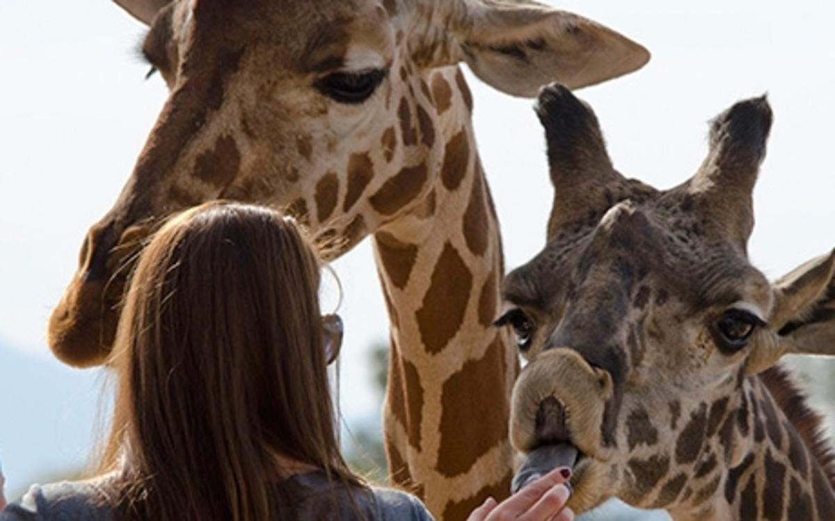The Phoenix Zoo's Giraffe Encounter lets guests feed these gentle giants.