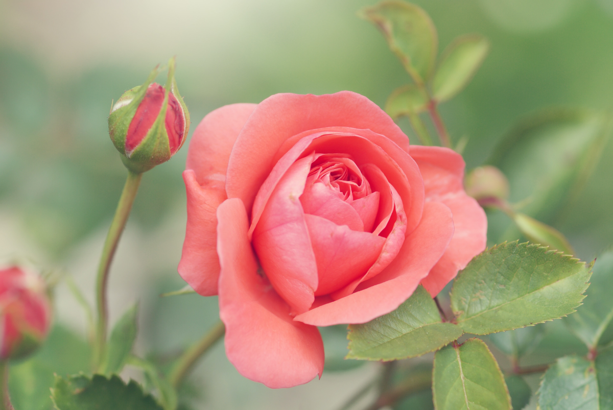 Scottsdale Artists' School Rose Garden